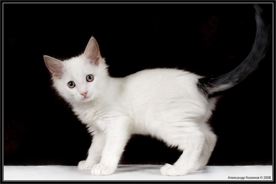 Белого котенка