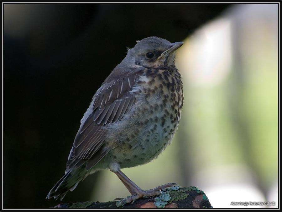 http://photographies.narod.ru/photos/birds/birds_rus27.jpg